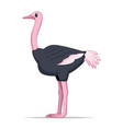 african ostrich bird on a white background vector image vector image