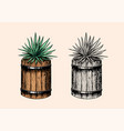 mexican blue agave plant and wooden barrel vector image vector image