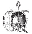 marsh turtle skeleton vintage vector image vector image