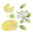 Watercolor lemon collection vector image vector image