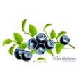 Blueberries with leaves vector image vector image