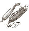 ripe corn logo design template fresh vector image
