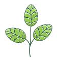 Moringa Leaf vector image vector image