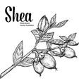 Shea Plant vector image vector image