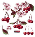 set cherry branches vector image