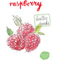 watercolor raspberry vector image vector image