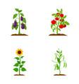 eggplant tomato sunflower and peasplant set vector image vector image