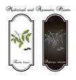 tonka beans dipteryx odorata aromatic and vector image vector image