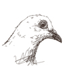 Dove bird vector image