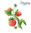 Watercolor strawberry vector image vector image