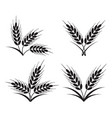 bunches wheat barley or rye ears vector image
