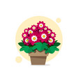 beautiful spring flowers of cineraria in a pot vector image