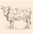 cow in pasture vector image
