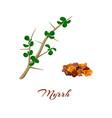 myrrh commiphora myrrha vector image vector image