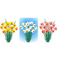 daffodils in different colors vector image