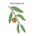 chaulmoogra tree hydnocarpus anthelminticus vector image vector image