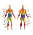 Detailed of human muscles Exercise vector image vector image