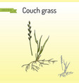 couch grass elymus repens or twitch medicinal vector image vector image