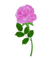nature pink flower rose with isolation on a white vector image