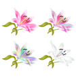 stem lily flower pink and colored lilium vector image vector image
