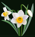 Narcissus flowers with leaves and bud vector image vector image