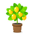 lemon tree in clay pot on white background vector image vector image