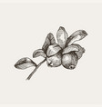 blackberry vintage hand drawn vector image vector image