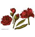 set hand drawn colored amaryllis vector image