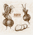 digital detailed line art radish vegetable vector image