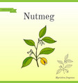 kitchen spices nutmeg vector image vector image