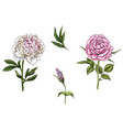 set with rose and peony flower vector image