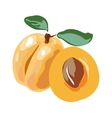 Fresh cut apricot fruits isolated on white vector image vector image