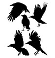rook crow raven birds silhouette vector image vector image