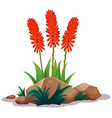 aloe vera with flowers on white background vector image vector image