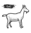 goat animal sketch or hand drawn lamb vector image vector image