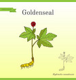goldenseal hydrastis canadensis medicinal plant vector image vector image