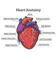 heart anatomy colored sketch vector image vector image