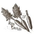 carrots logo design template fresh vector image vector image