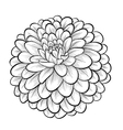 black and white dahlia flower isolated vector image vector image