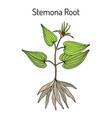stemona tuberosa medicinal plant vector image vector image