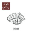 cardamom hand drawing herbs and spices vector image
