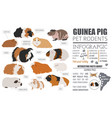 guinea pig breeds infographic template icon set vector image vector image