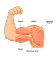 muscles of the hand anatomy vector image vector image
