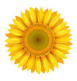 realistic beautiful bright yellow sunflower vector image