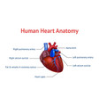 realistic detailed 3d human anatomy heart card vector image
