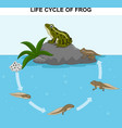 frog life cycle vector image