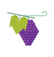 grape fruit vector image