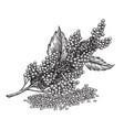 quinoa plant and quinoa seeds super food vector image vector image