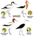 birds collection avocet birds vector image vector image