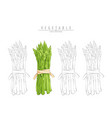 bunch of aparagus on white vector image